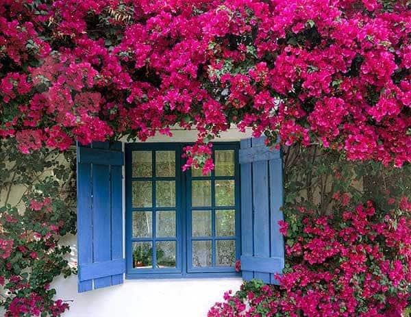 giàn hoa giấy bên cửa sổ