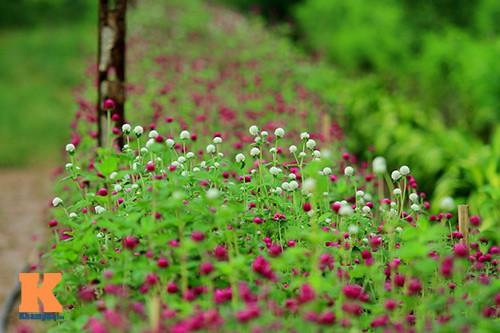 hoa bach nhat y nghia