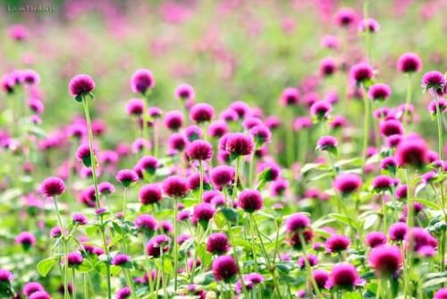 hoa bach nhat dep nhat