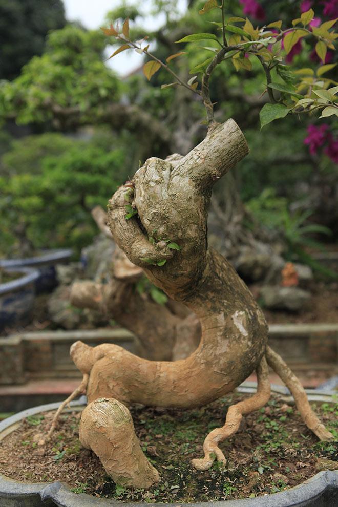gốc cây bonsai hoa giấy đỏ