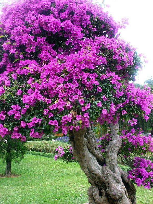 cây hoa giấy cổ thụ