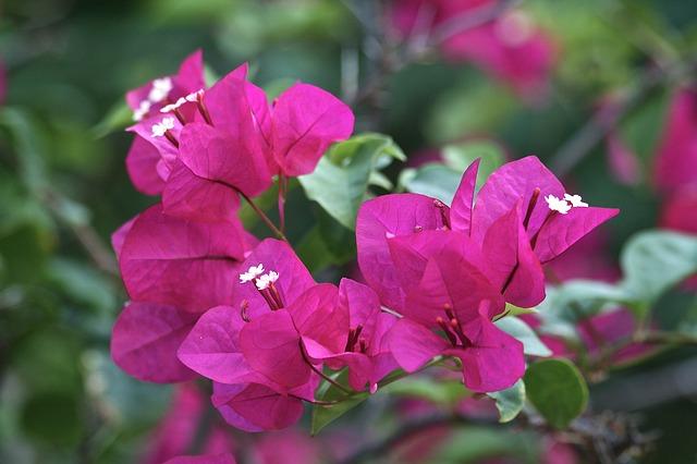 bông hoa giấy màu hồng