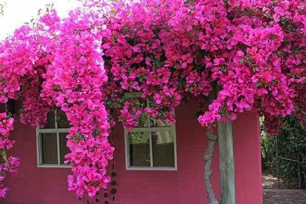 cây bông giấy đẹp