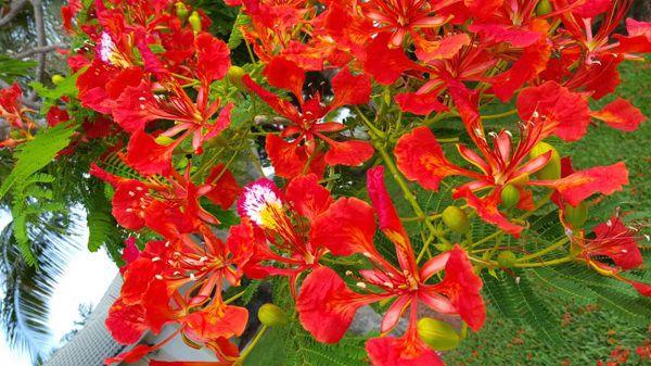 cay hoa phuong dep