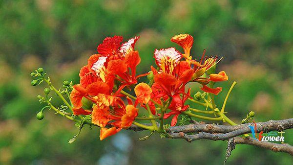 hoa phuong dep