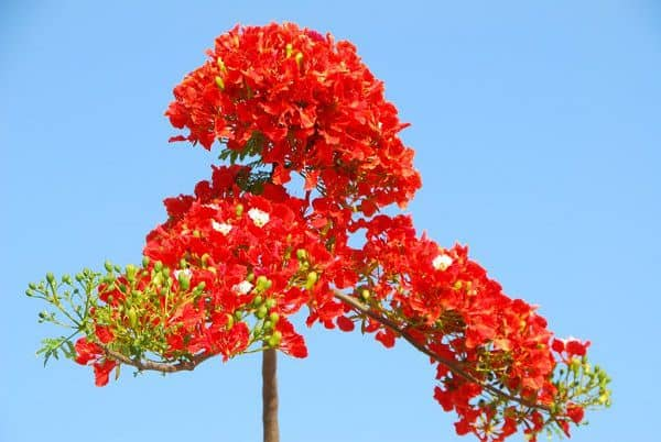 cay hoa phuong vi