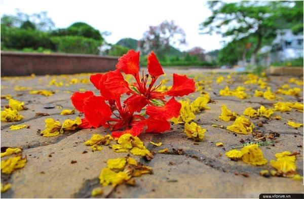hoa phuong san truong
