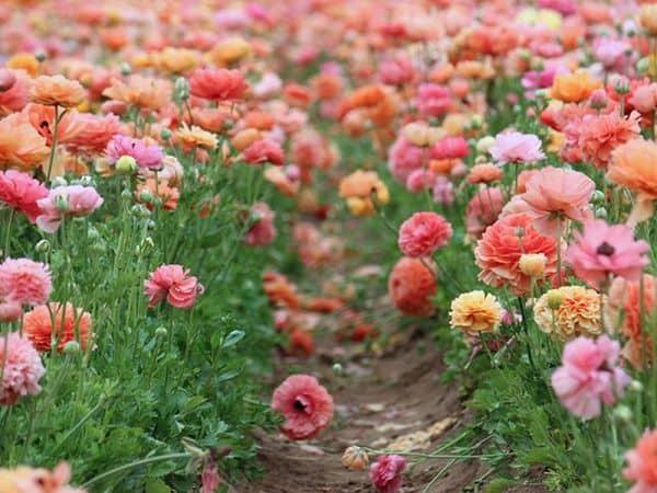 cay hoa mao luong