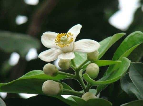 cây hoa bưởi