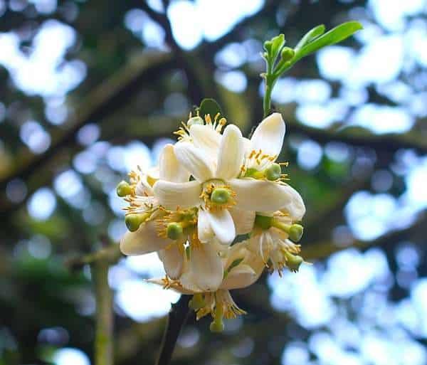 hoa bưởi đẹp nhất