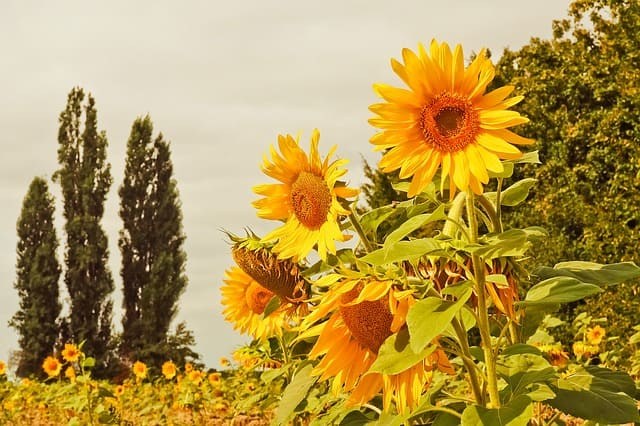 hoa huong dep dep nhat 12
