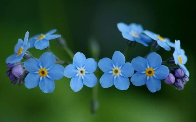 hinh anh hoa luu ly dep nhat