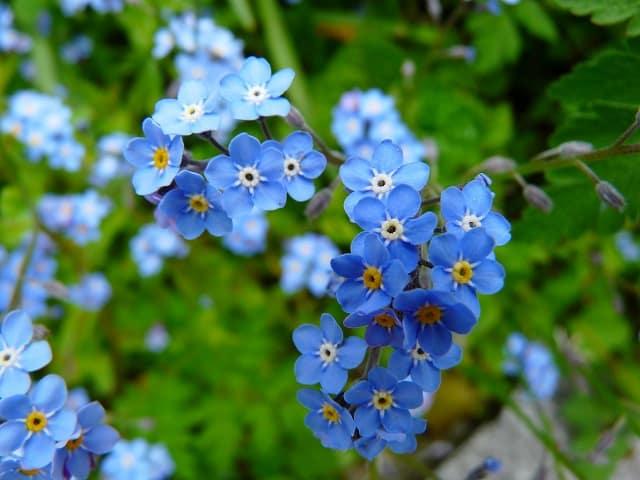 hoa luu ly xanh