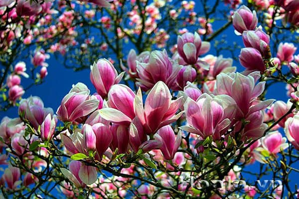 hoa moc lan y nghia