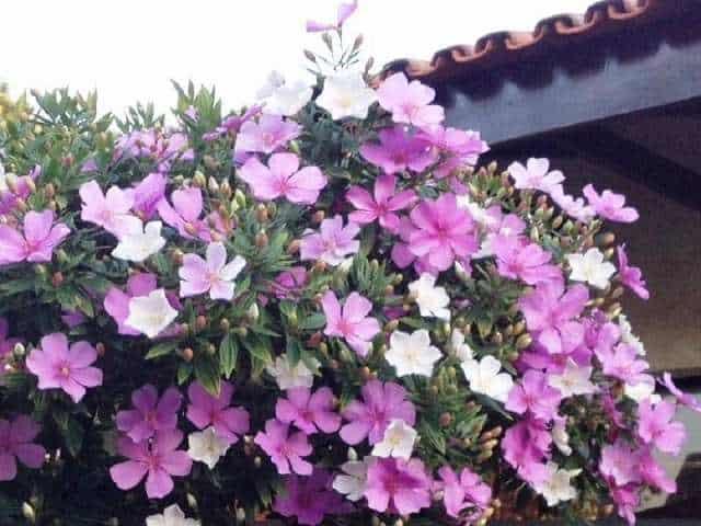 hoa nhài nhật đổi màu