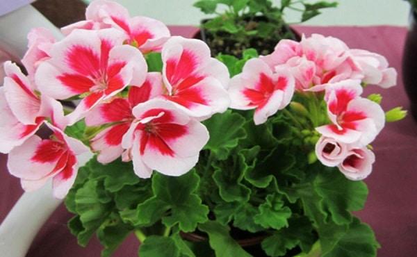 cay hoa phong lu