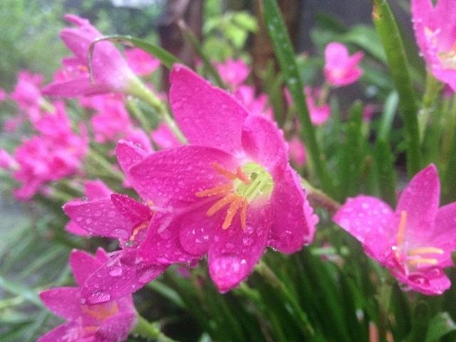 hoa thuy tien hong