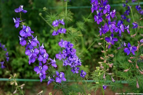 hoa violet xanh