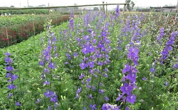 hoa violet dep nhat