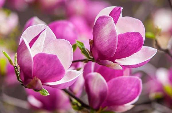 hoa ngoc lan mau tim
