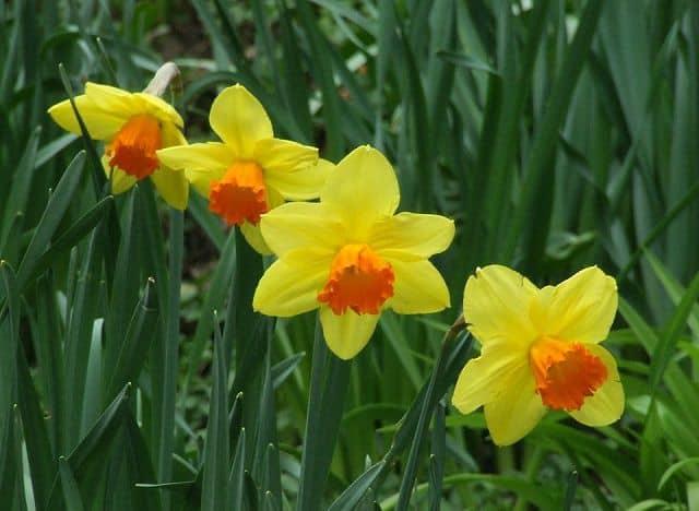 cây hoa thủy tiên vàng