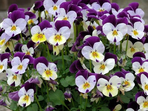 cac mau hoa violet