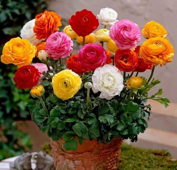 chau hoa mao luong