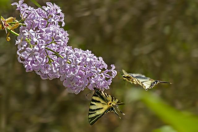 hình ảnh hoa tử đinh hương tím