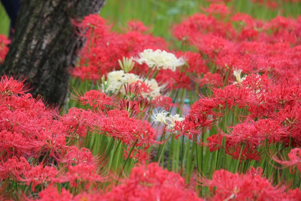 Rừng hoa bỉ ngạn đó