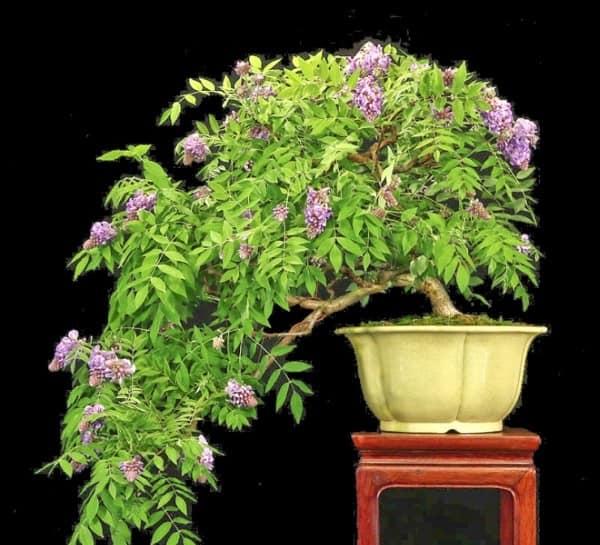 hoa tu dang bonsai