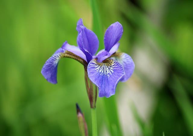 hoa diên vĩ xanh