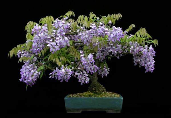 hoa tử đằng bonsai