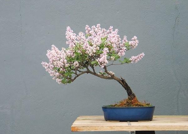 bonsai hoa tử đằng