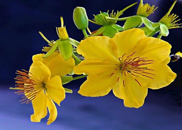hình hoa mai