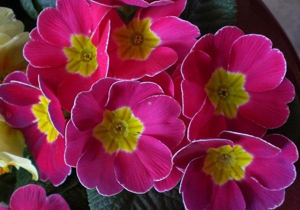 hoa anh thao y nghia