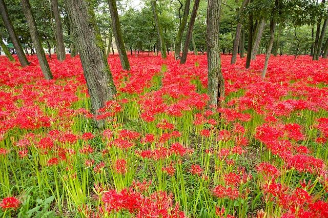 Cánh rừng hoa bỉ ngạn