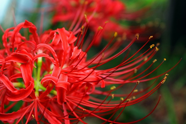 Bông hoa bỉ ngạn