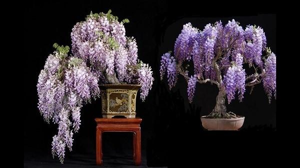 hoa tư dang bonsai dep