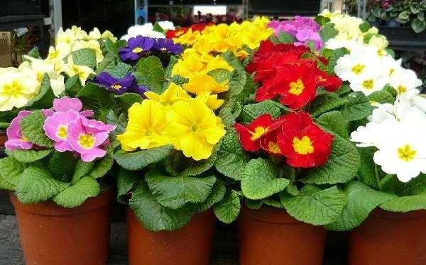 hoa cúc báo xuân