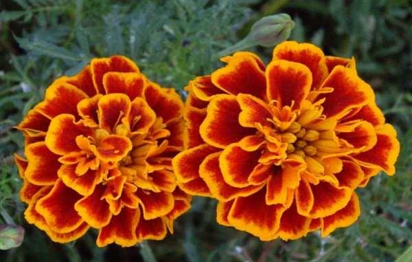 hoa vạn thọ pháp