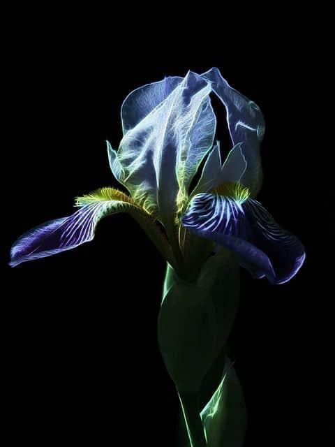 Hoa diên vỹ