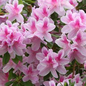 cay hoa do quyen 1