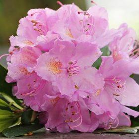 cay hoa do quyen 3