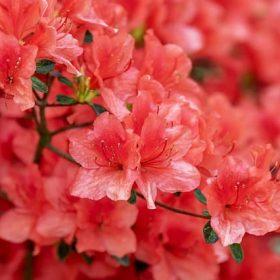 cay hoa do quyen 4