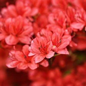 cay hoa do quyen 5