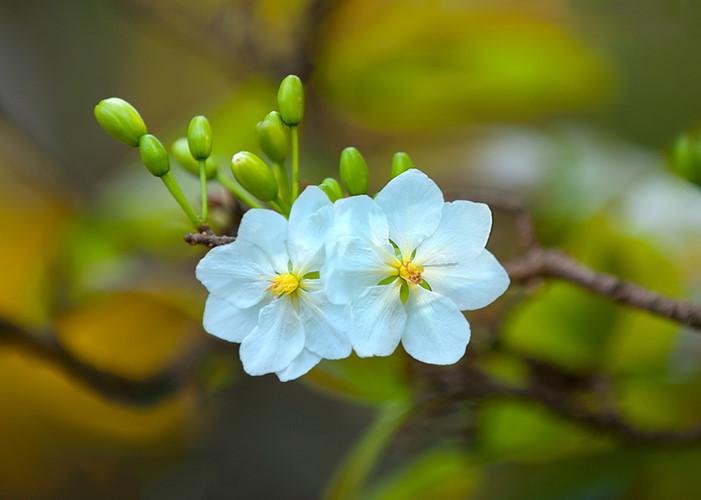 Hoa mai trắng đẹp