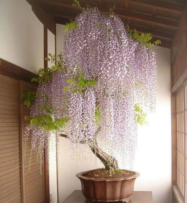 cây bonsai tử đằng