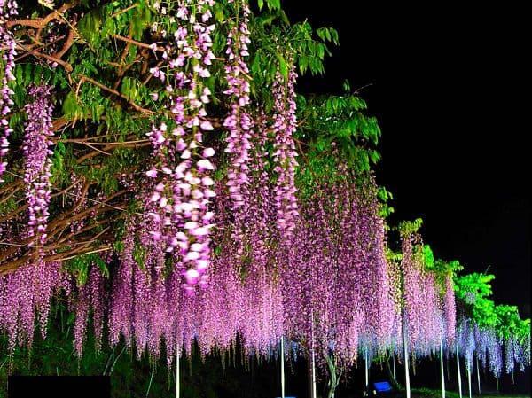 vườn hoa tử đằng siêu đẹp