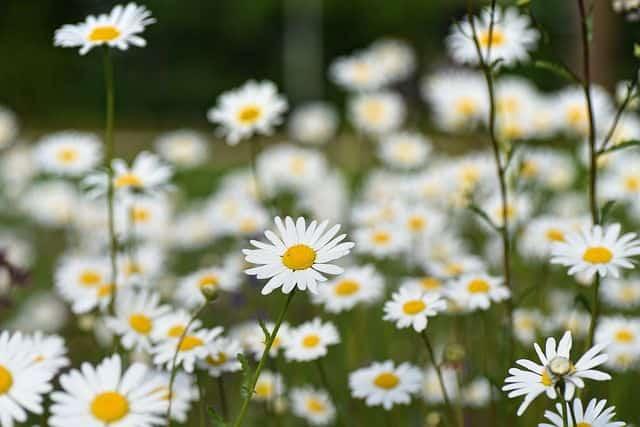 Anh dep hoa cuc