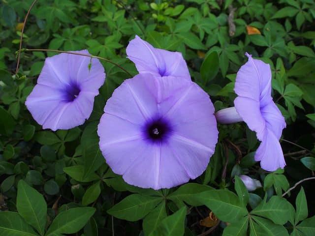 Hoa bim bim mau xanh